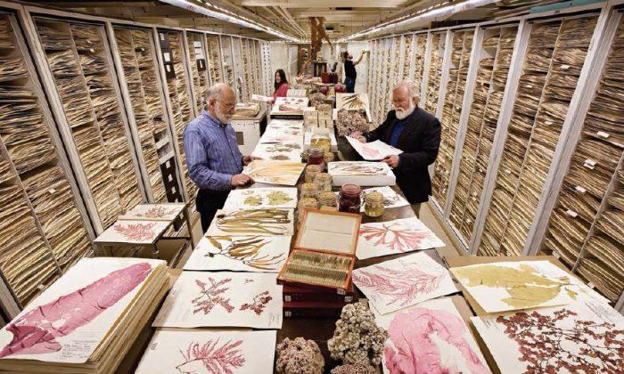 Staff examine pressed specimens