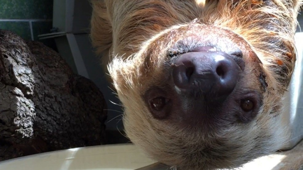 Ms. Chips, the sloth, hangs upside down