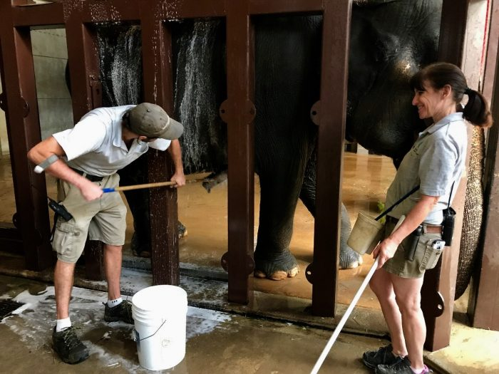 Keepers scrubbing an elephant