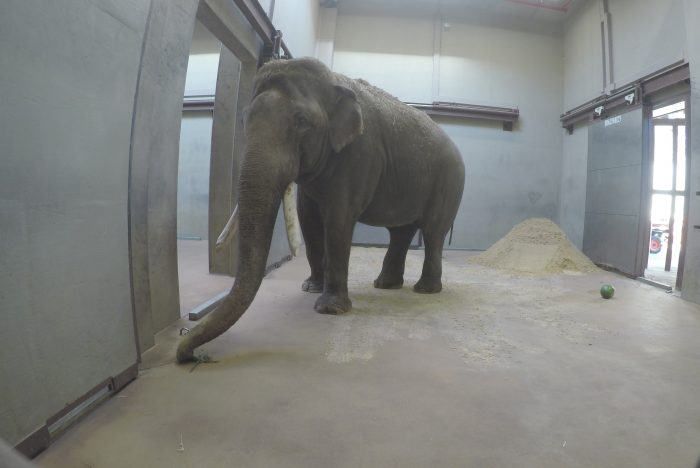 Asian elephant in barn