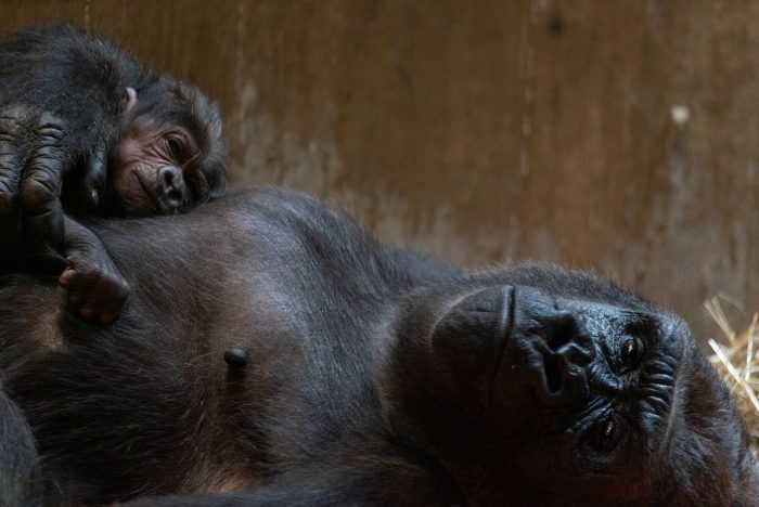 Mother and infant western lowland gorilla