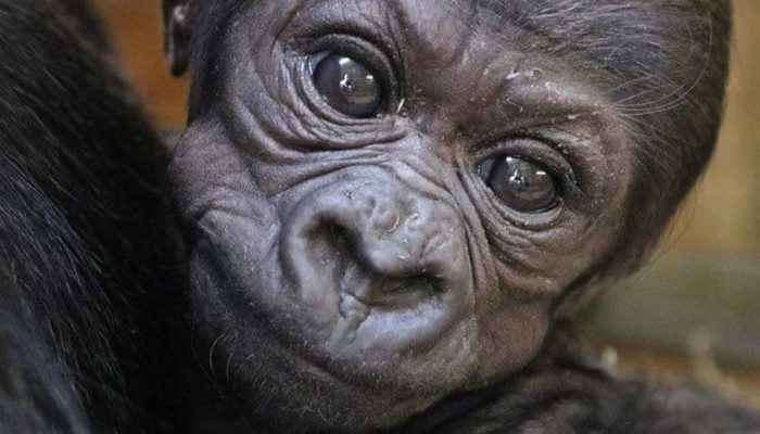 Close up of baby gorilla