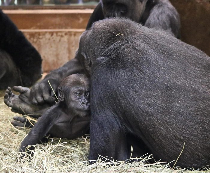 Baby gorilla among adults