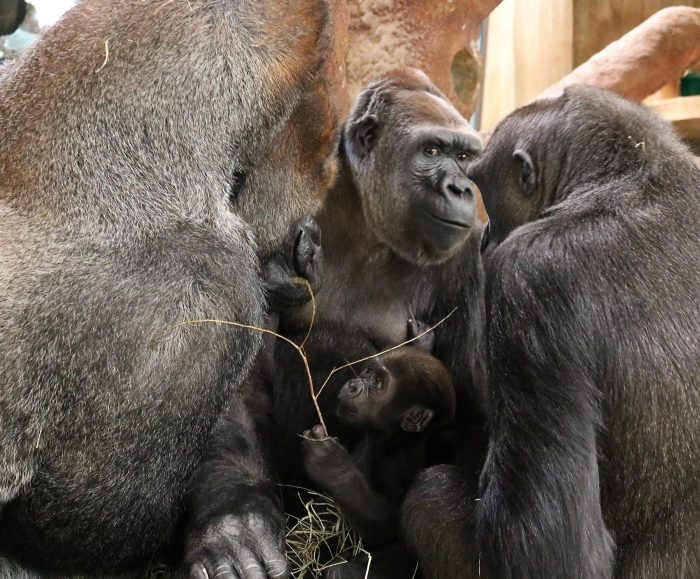 Baby gorilla amid adults