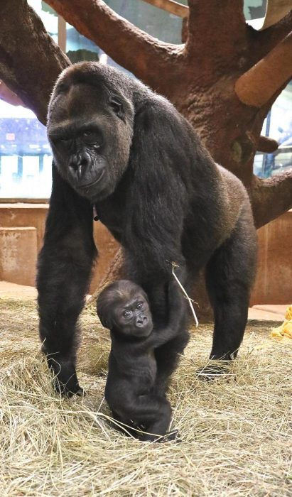 Baby gorilla clinging to mother