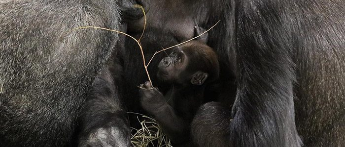 #Gorilla Story: Moke makes a move