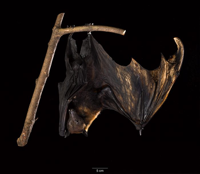 taxidermy fruit bat