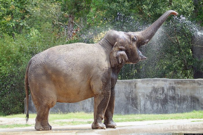 Elephant spraying herself with her trunk