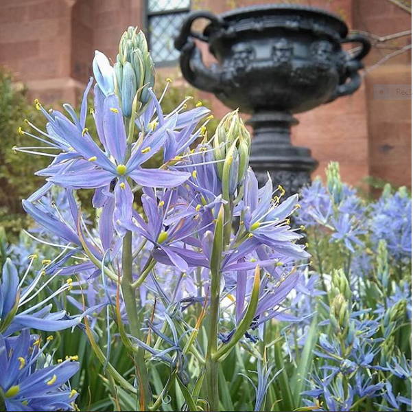 Purple flowers with urn in background