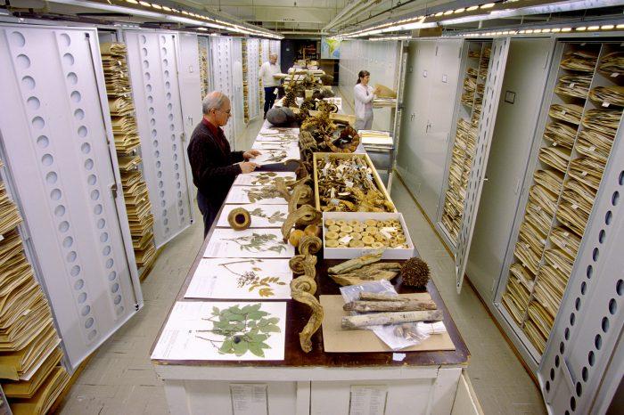 NMNH staf among drawers of botany specimens