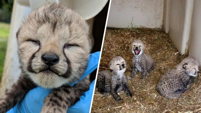 Composite photos of baby cheetahs