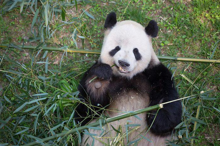 Giant panda munching on bamboo