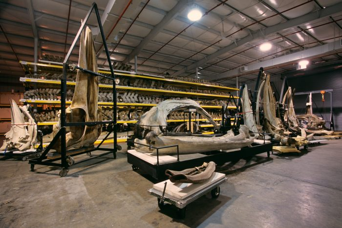 Whale bones in warehouse