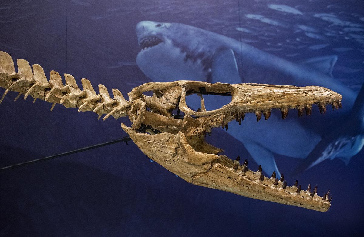 Mososaur skull