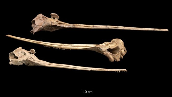 Skulls of three long-snouted dolphins