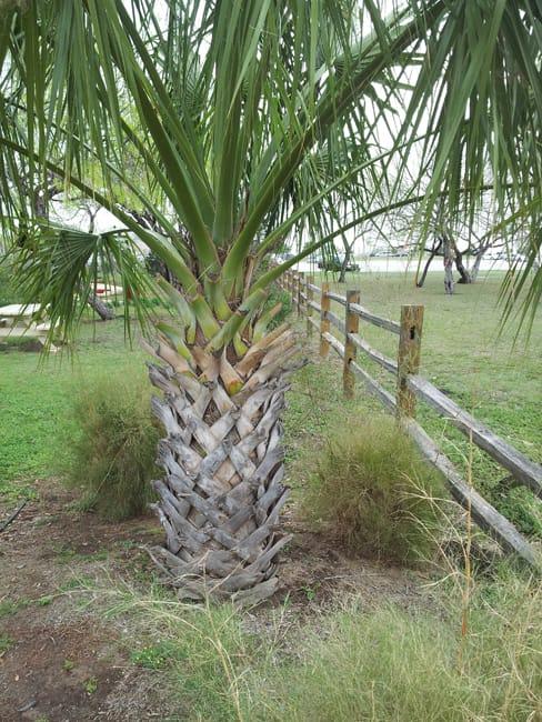 Sabal palm tree