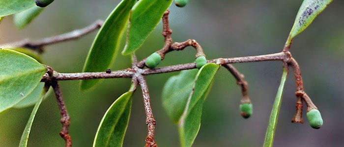 From pagan magic to cancer cure? The mysteries of mistletoe.