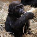 Moko the baby gorilla
