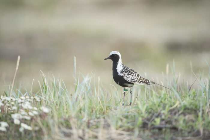 small plover in field