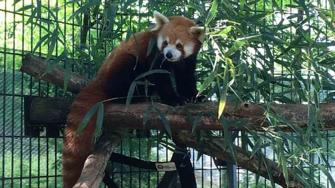 Red panda in enclosure
