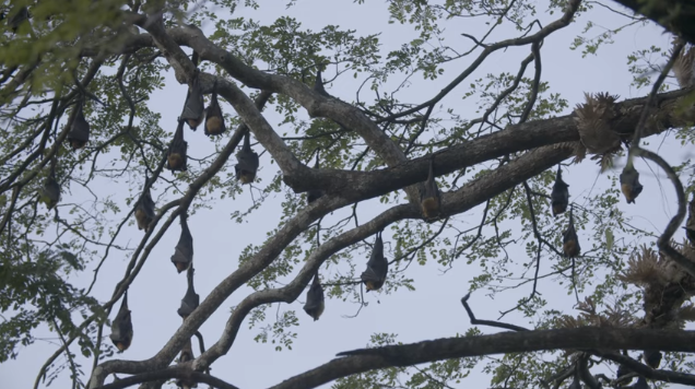 Field in Focus | Predicting Pandemics: Flying Foxes