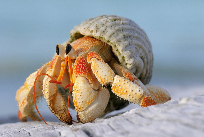 Close up of hermit crab