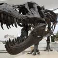 Close up of dinosaur skull on display