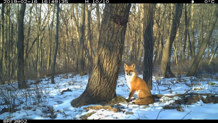 Red fox in snowy woods