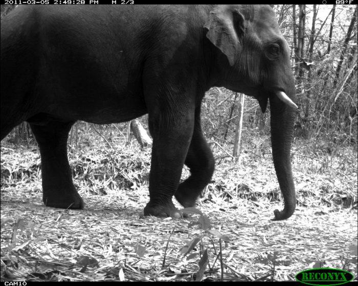 Elephant photographed on wildlife camera
