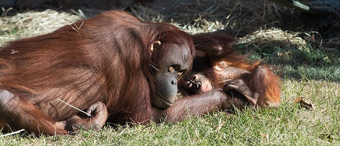 Orangutan Story: Redd goes to school