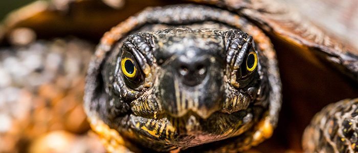 Slow and steady: Will the wood turtle win the race against habitat loss?
