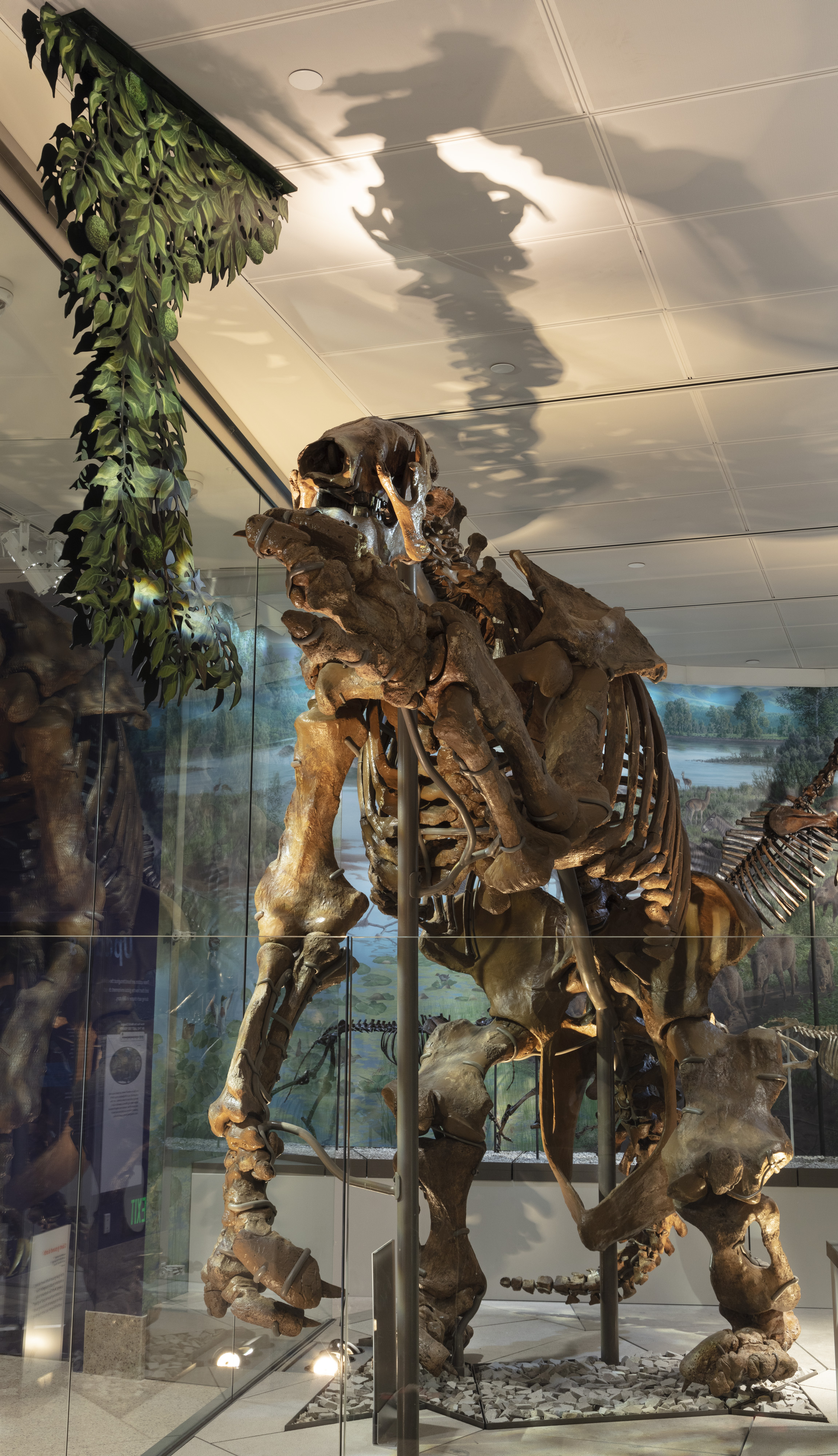 Giant Sloth skeleton in display case