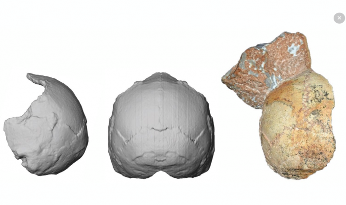 reconstruction of early hominid cranium
