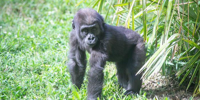 #GorillaStory: Moke is becoming more bold