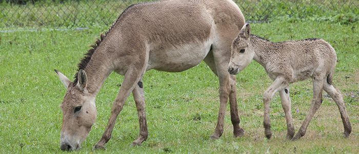 Featured Creature: Persian Onager