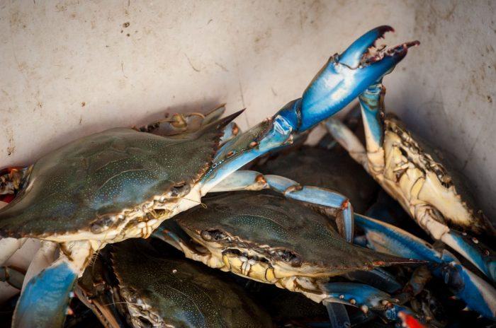 closeup of blue crabs