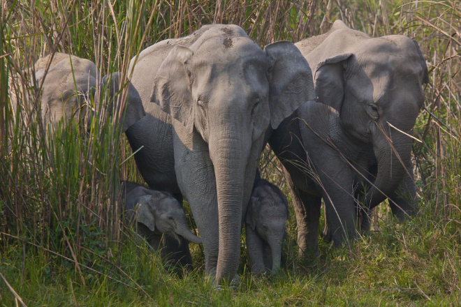 Family group of Asian Elephants