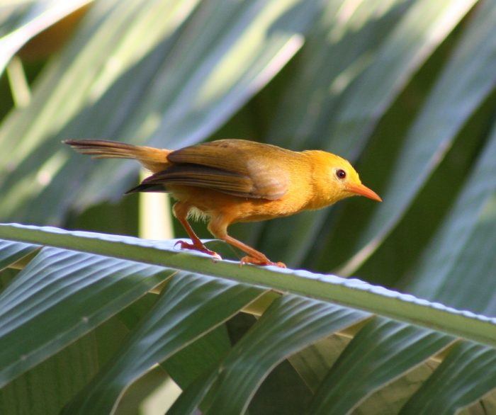 Small yellow-brown bird on palm frond