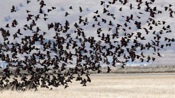 flock of red-winged blackbirds