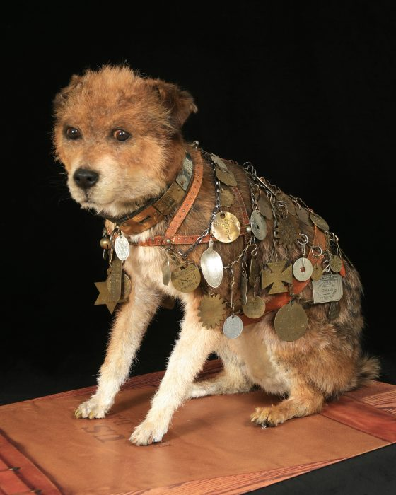 Owney the dog (taxidermy) wearing his postal service vest