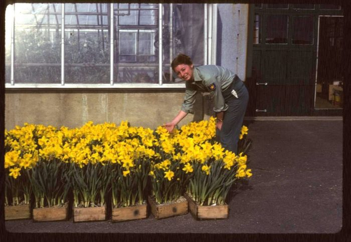 Faust with daffodils