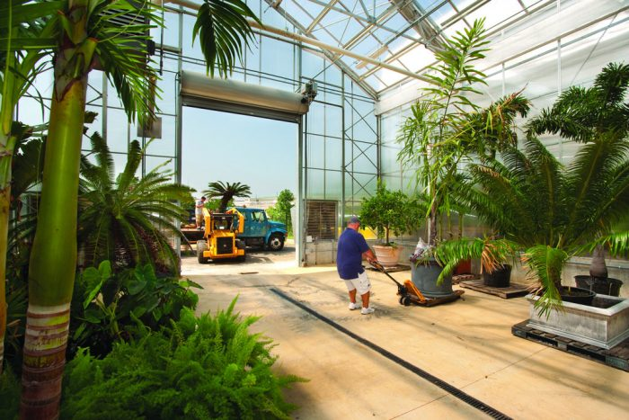 Worker moving tropical tree in greenhouse