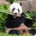 Cropped photo of Bei Bei eating bamboo