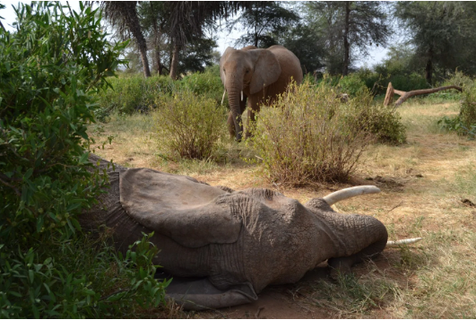 elephant near a dead companiion