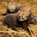 Baby Cheetahs 2020