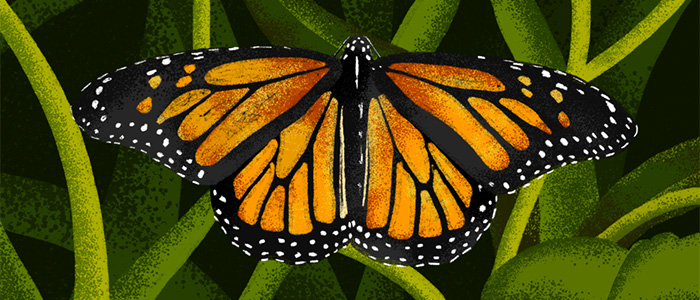 Monarch Butterflies: The People's Insect