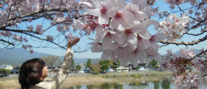 Significance of Sakura: Cherry Blossom Traditions in Japan