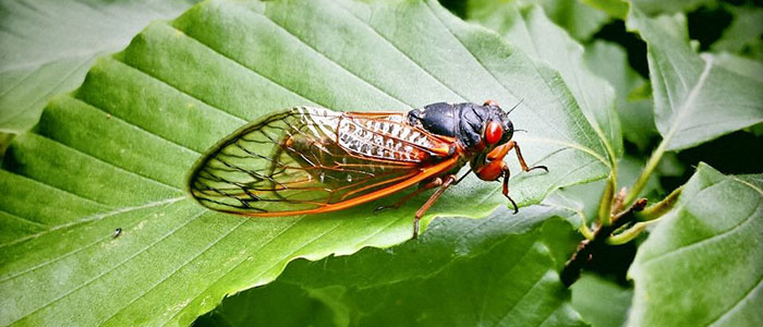 Brood X: The cicadas are coming!