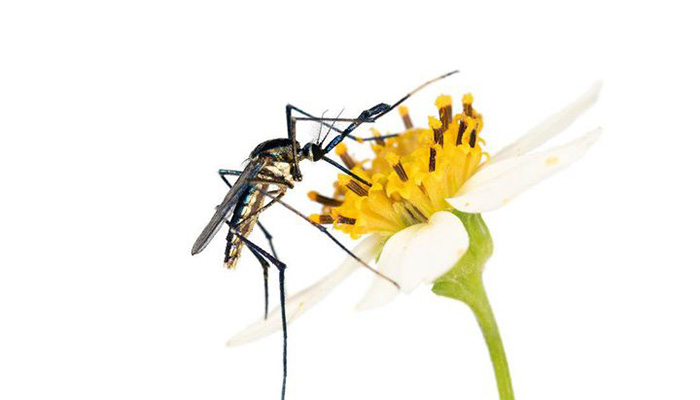 The Secret Lives of Mosquitoes, the World's Most Hated Insects