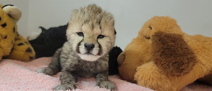A Cheetah Cub Check-in
